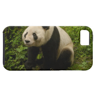 Giant panda (Ailuropoda melanoleuca) Family: 6 iPhone 5 Covers