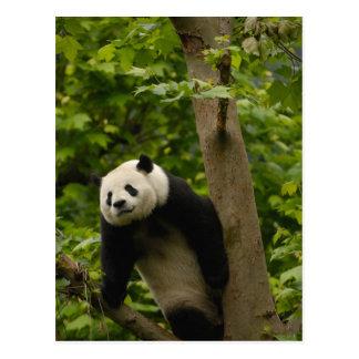 Giant panda Ailuropoda melanoleuca) Family: 6 Postcard