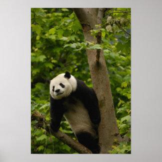 Giant panda Ailuropoda melanoleuca) Family: 6 Poster