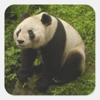 Giant panda (Ailuropoda melanoleuca) Family: 6 Square Sticker
