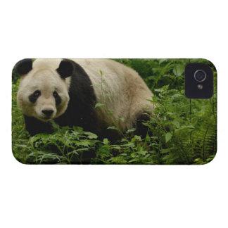 Giant panda (Ailuropoda melanoleuca) Family: 7 iPhone 4 Cover