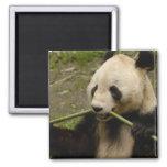 Giant panda Ailuropoda melanoleuca) Family: 7 Magnet