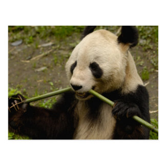 Giant panda Ailuropoda melanoleuca) Family: 7 Postcard