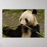 Giant panda Ailuropoda melanoleuca) Family: 7 Poster