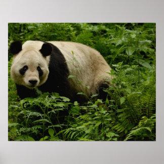 Giant panda (Ailuropoda melanoleuca) Family: 7 Poster