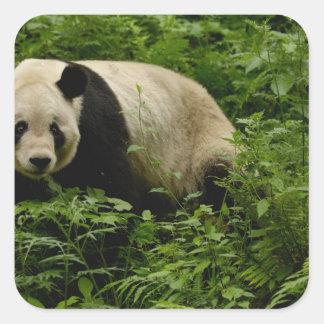 Giant panda (Ailuropoda melanoleuca) Family: 7 Square Sticker