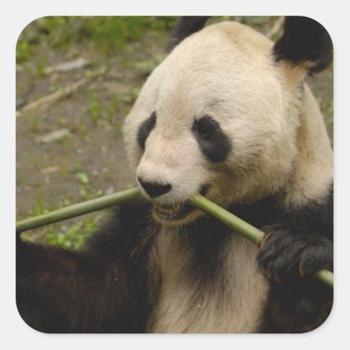 Giant panda Ailuropoda melanoleuca) Family: 7 Square Sticker