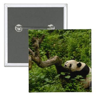 Giant panda Ailuropoda melanoleuca) Family: 8 Button