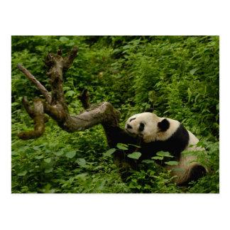 Giant panda Ailuropoda melanoleuca) Family: 8 Postcard