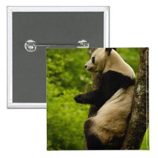 Giant panda Ailuropoda melanoleuca) Family: Button