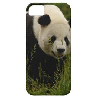 Giant panda (Ailuropoda melanoleuca) Family: iPhone SE/5/5s Case