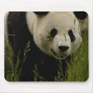 Giant panda (Ailuropoda melanoleuca) Family: Mousepads