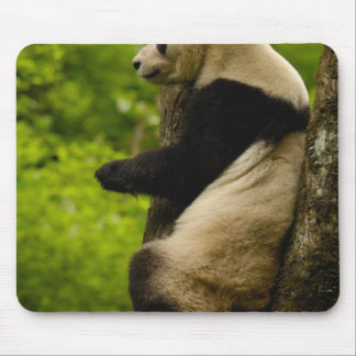 Giant panda Ailuropoda melanoleuca) Family: Mouse Pads