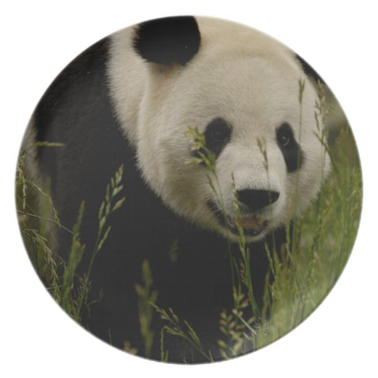 Giant panda (Ailuropoda melanoleuca) Family: Plate