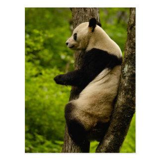 Giant panda Ailuropoda melanoleuca) Family: Postcard