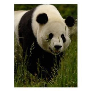 Giant panda (Ailuropoda melanoleuca) Family: Postcard