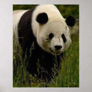 Giant panda (Ailuropoda melanoleuca) Family: Poster