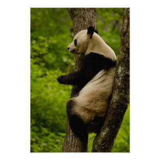 Giant panda Ailuropoda melanoleuca) Family: Poster
