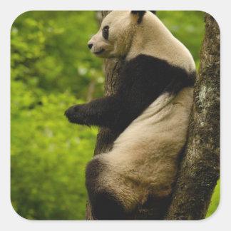 Giant panda Ailuropoda melanoleuca) Family: Square Sticker