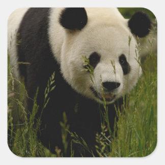 Giant panda (Ailuropoda melanoleuca) Family: Square Stickers
