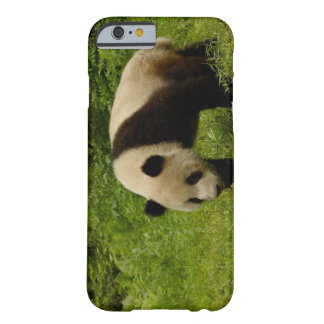 Giant panda (Ailuropoda melanoleuca) in its Barely There iPhone 6 Case