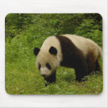 Giant panda (Ailuropoda melanoleuca) in its Mouse Pad