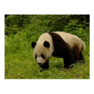 Giant panda (Ailuropoda melanoleuca) in its Postcard