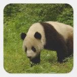 Giant panda (Ailuropoda melanoleuca) in its Square Sticker