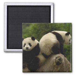 Giant panda babies Ailuropoda melanoleuca) 10 2 Inch Square Magnet