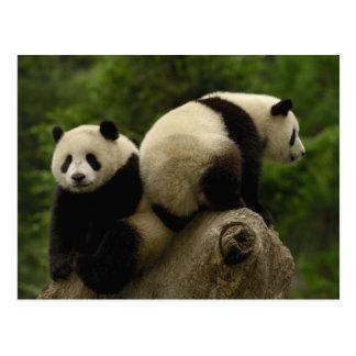 Giant panda babies Ailuropoda melanoleuca) 10 Postcard