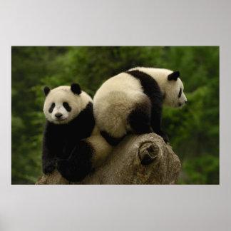 Giant panda babies Ailuropoda melanoleuca) 10 Poster