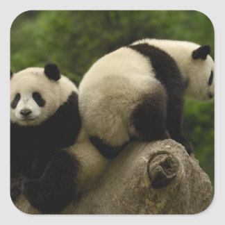 Giant panda babies Ailuropoda melanoleuca) 10 Square Stickers