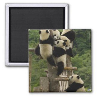 Giant panda babies Ailuropoda melanoleuca) 2 Inch Square Magnet