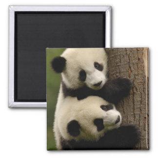 Giant panda babies (Ailuropoda melanoleuca) 2 Magnet