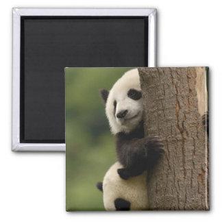 Giant panda babies Ailuropoda melanoleuca) 2 Magnet