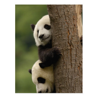 Giant panda babies Ailuropoda melanoleuca) 2 Postcard