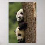 Giant panda babies Ailuropoda melanoleuca) 2 Posters