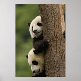 Giant panda babies Ailuropoda melanoleuca 2 Posters
