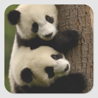 Giant panda babies (Ailuropoda melanoleuca) 2 Square Stickers