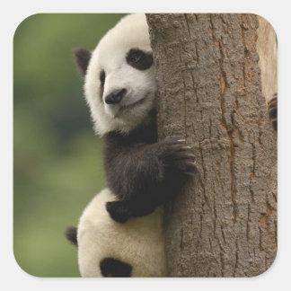 Giant panda babies Ailuropoda melanoleuca) 2 Square Stickers