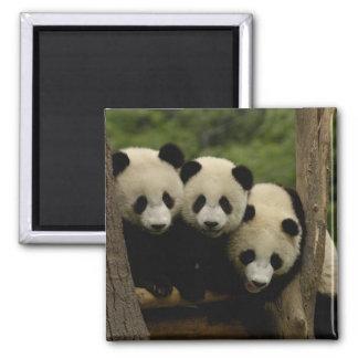Giant panda babies Ailuropoda melanoleuca) 3 2 Inch Square Magnet