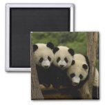 Giant panda babies Ailuropoda melanoleuca) 3 Refrigerator Magnet
