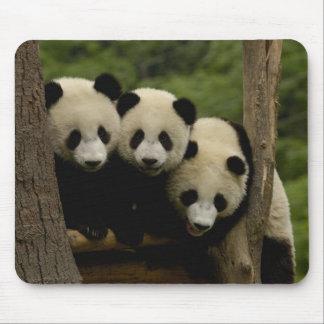 Giant panda babies Ailuropoda melanoleuca) 3 Mouse Pad