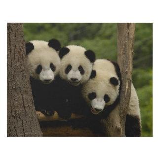 Giant panda babies Ailuropoda melanoleuca) 3 Panel Wall Art