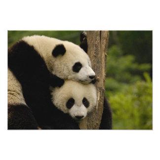 Giant panda babies Ailuropoda melanoleuca) 3 Photo Print