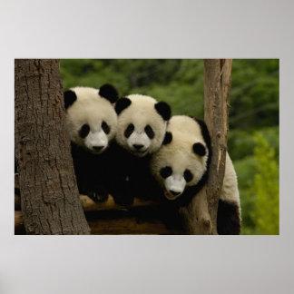 Giant panda babies Ailuropoda melanoleuca) 3 Posters