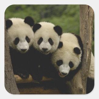 Giant panda babies Ailuropoda melanoleuca) 3 Square Sticker