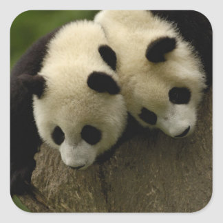 Giant panda babies (Ailuropoda melanoleuca) 3 Square Sticker