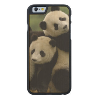 Giant panda babies Ailuropoda melanoleuca) 4 Carved Maple iPhone 6 Case