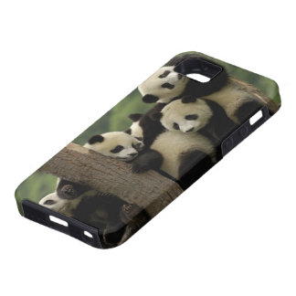 Giant panda babies Ailuropoda melanoleuca) 4 iPhone 5 Cases